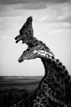 Giraffe love :) By Anahí Rodriguez