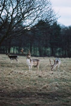 hellanne:    3 Deer (by S.A.Fischer)