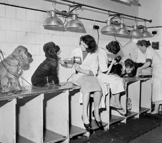Dog grooming... old school style
