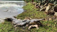 Μυστήριο στη Σιγκαπούρη: Εντοπίστηκε τεράστιο «προϊστορικό» ψάρι σε μέγεθος αλιγάτορα