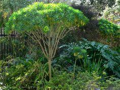 Euphorbia lambii aka Tree Euphorbia