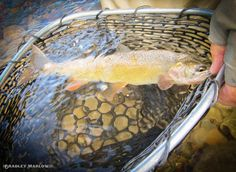 Snake River Cutthroat- Near Jackson Hole Fly Fishing Destin Fishing, Fishing Boats, Fly Fishing, Wyoming Vacation, Jackson Hole Wyoming, Cool Pictures, Snake, Destinations, River