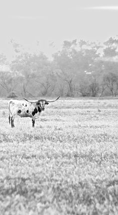 Single longhorn, at sunrise, in texas, black and white, cow, field, steer