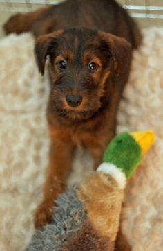 Obi Wan the Irish Terrier