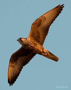 falcon soaring colouring - Google Search