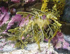 in my next life (presuming I'm not reincarnated as a discarded orange peel) I'd like to come back as a leafy sea dragon [phycodurus eques] so beautifully evolved to lurk unseen in seaweed.  Some of the better public aquariums have seahorse examples you can see up close