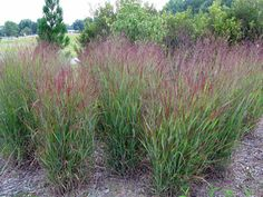 LODI - 'Shenandoah' Switch Grass, try in container first to check colors and if I like it.