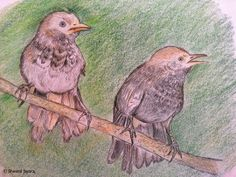 A rendering of Atul Dhamankar's pic of yellow-billed babblers. #birds #sketch #staedtler #colorpencil #art