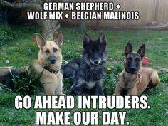 German Shepherd, Wolf mix and a Belgian Malinois Shepherd. Wow. Gorgeous!