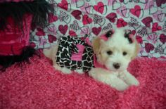 Maltipoo puppy for sale in Texas.