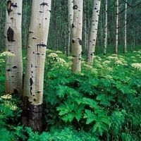 Aspens and Cow Parsnip, White River National Forest, Colorado