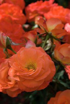 Rose 'Amanda' • Rosa 'Amanda' • Plants & Flowers • 99Roots.com