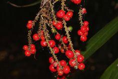 Cordyline congesta [Family: Asteliaceae]; Conservation status: Threatened species - Flickr - Photo Sharing!