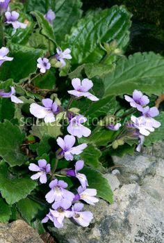 Haberlea rhodopensis Shade Plants Container, Image, Art, Art Background, Kunst, Art Education