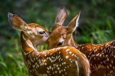 creatures-alive:  (via 500px / Fawn Twins by Jeff Graham)