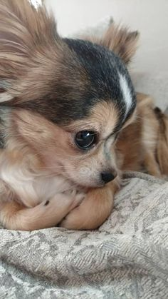 #Chihuahua #love #sweet