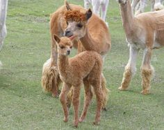 Alpacas Momma and Baby
