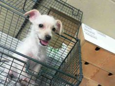 This DOG - ID#A450023 Available 7/19 I am a female, white Terrier. The shelter staff think I am about 2 months old. I have been at the shelter since Jul 12, 2013.  http://www.petharbor.com/pet.asp?uaid=SBCT.A450023  For more information about this animal, call: San Bernardino City Animal Control at (909) 384-1304 Ask for information about animal ID number A450023  https://www.facebook.com/photo.php?fbid=10200683344863599=a.10200564236125955.1073741846.1160364024=1