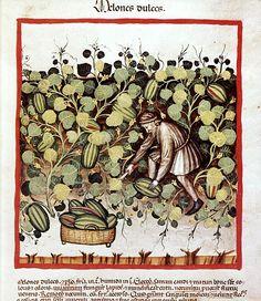 """""""Landmann bei der Melonenernte"""", Tacuinum sanitatis in medicina, Codex Vindobonensis, ca. 1390"""