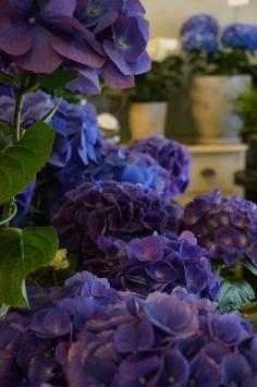 #Flowers #Hydrangea