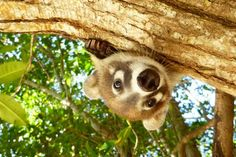 Curios Coati @SandosCaracol #EcoResort #AnimalesSueltos Un coatí curioso en Sandos Caracol (Photo: Sonja Schaufele)