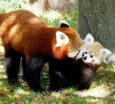 White Wolf: Baby Red Panda Sherman Makes Autumn Appearance At Detroit Zoo