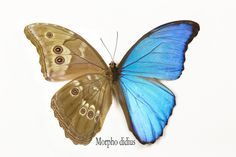 Blue Morpho Butterfly, Morpho didius, photography by:  Darrell Gulin