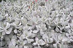 kalanchoe pumila - Buscar con Google Natural Forms, Google, Nature, Plants, Naturaleza, Plant, Nature Illustration, Off Grid, Planets