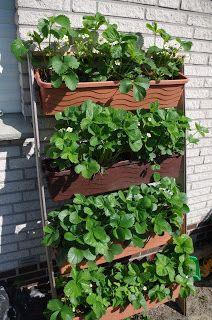 Mr. Greens Welt: Erdbeerwandplantage Mai `16