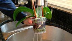 Bir Orkideyi Tekrar Canlandırmanın Yolları - El İşi Örnek Aloe, Farmer, Tulips, Canning, Plants, Places, Farmers, Plant, Home Canning