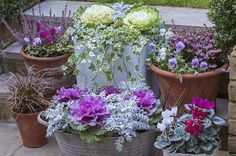 Lovely winter display: white ornamental cabbage, ivy; violas and heather, purple ornamental cabbage and silver-leafed cinneraria; cyclamen. Will try.