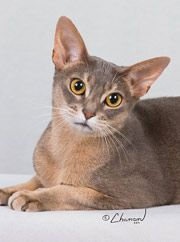 Great information about abyssinian cats now and back then..