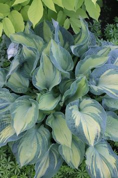 Hosta sieboldiana 'Golden Meadows' (Reiner van Elderen NR)