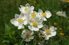 Ranunculales, Ranunculaceae, Anemone