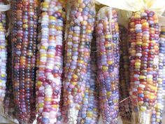 before human selection interfered, corn ears were all multi-coloured.* Kernels are siblings housed on the same ear, meaning that each kernel has its own set of genes, including those that control colour.