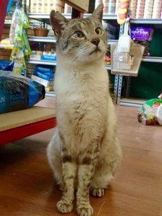 Meet Andre the Giant. He's the resident cat from Highpaws Pet Supplies in…