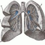 Organ Paru-paru merupakan organ yang berfungsi untuk memasukkan oksigen dan mengeluarkan karbondioksida. Organ paru-paru pada manusia merupakan organ fital, karena hanya paru-parulah organ tubuh yang digunakan untuk bernafas.