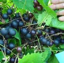Pruning muscadine grape vines