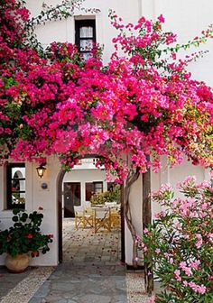 A pink flowering vine ( Bougainvillea ) welcomes visitors to this Spanish style home. Love how it curves over the archway, leading you to the courtyard.