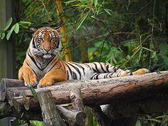 Malayan tiger - Wikipedia, the free encyclopedia