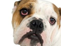 Best Dog Toys For American Bulldogs – Wow Blog