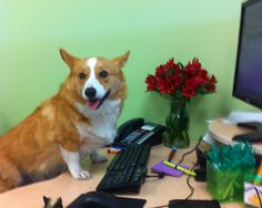 Just another day at the office...... #corgi