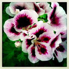 Martha Washington Geranium @a nursery in VA. Beautiful!
