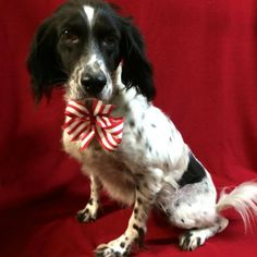 Meet Miss Emmy, an adoptable English Springer Spaniel looking for a forever home. If you're looking for a new pet to adopt or want information on how to get involved with adoptable pets, Petfinder.com is a great resource.