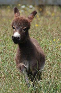 Courtesy: Clovercrest Miniature Donkey Stud, Pukekohe (New Zealand).