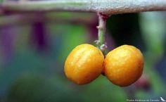 Allophylus sericeus (Cambess.) Radlk. Fruit © Marcelo Kuhlmann: www.frutosatrativosdocerrado.bio.br