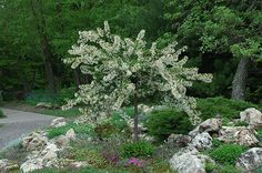 Find Tina Flowering Crab (Malus sargentii 'Tina') in Aurora Oswego Batavia Montgomery Naperville Illinois IL at Schaefer Greenhouses (Sargent's Flowering Crab, Roseybloom, Crabapple) Landscaping Supplies, Landscaping Plants, Flowering Crabapple, Trees And Shrubs, Dwarf Trees, Garden Borders, Types Of Soil, Small Trees, Fruit Trees