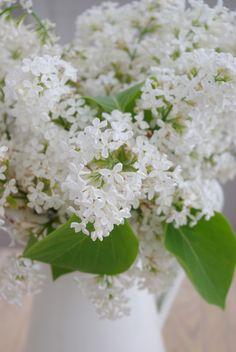 Syringa 'White Lilac' by Frokeniknopp Flowers Nature, Love Flowers, Fresh Flowers, Spring Flowers, White Flowers, Beautiful Flowers, Wedding Flowers, Feng Shui, White House Garden