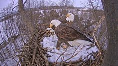 The Pennsylvania Game Commission: The eagle cam is back, and better than ever! View the live stream. This camera captures high-definition footage. It is also hard-wired to a power source which should keep the live stream from losing power due to lack of solar charge.