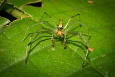 """A Long-jawed Jumping Spider – Lyssomanes sp. photographed on a night tour with Tracie """"The Bug Lady"""" in Drakes Bay, Costa Rica"""